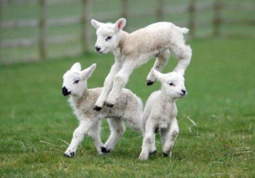 Lambs having fun in Hampshire stay with Wallops Wood