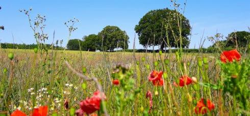Poppy fields with blue sky